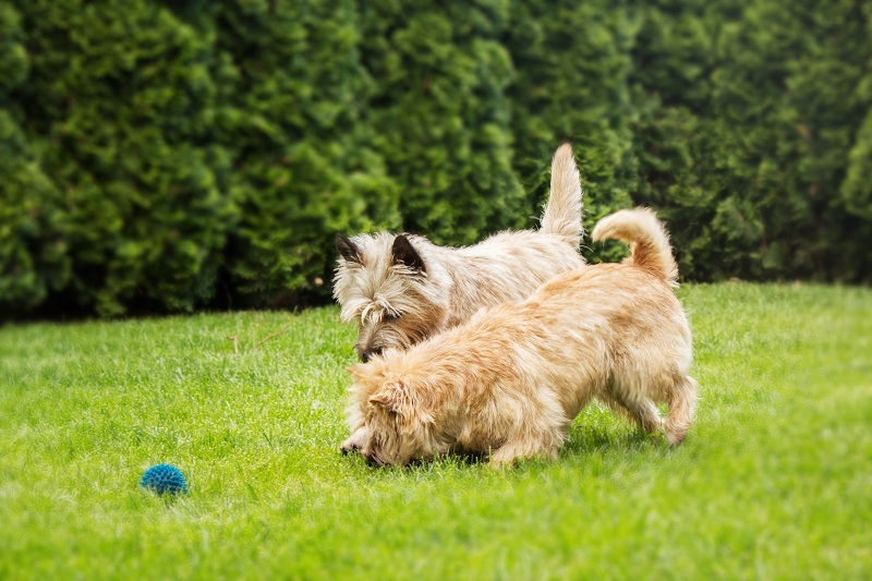 Two Cairn Terriers playing with ball