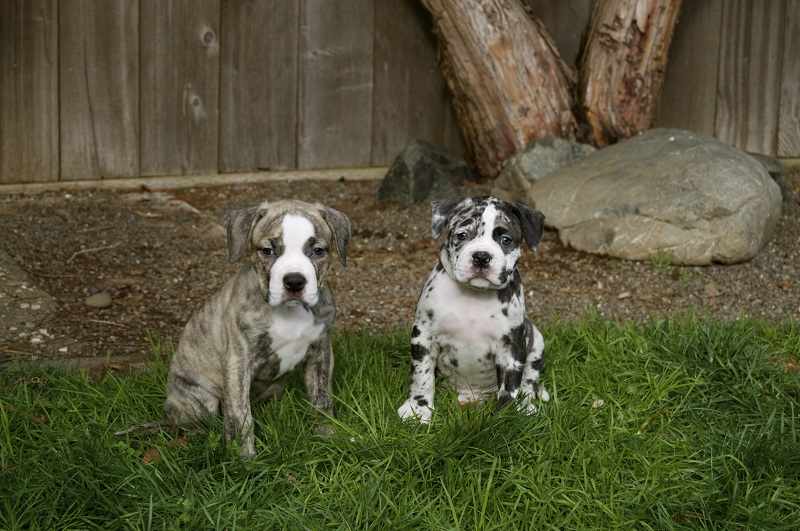 Two Bulldog puppies in yard