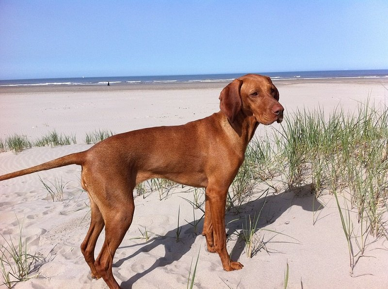 vizsla on the beach Hungarian pointer dog