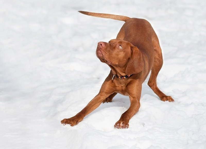 Vizsla puppy playing in the snow