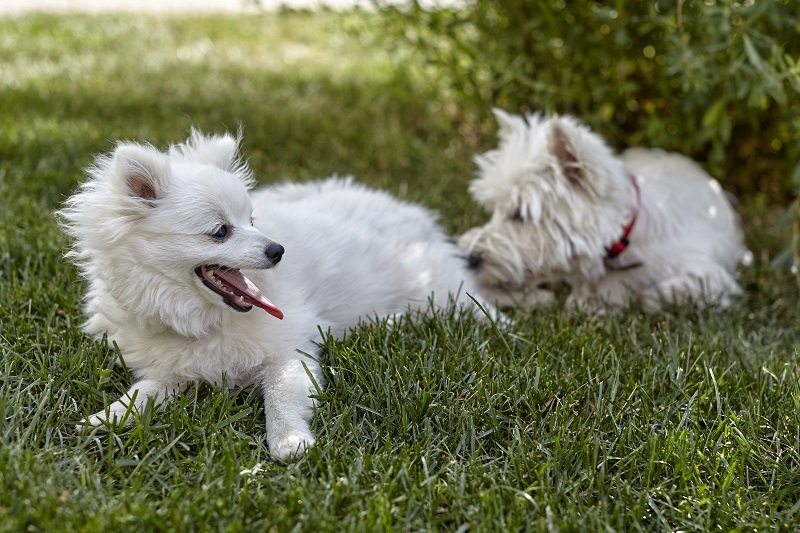 Sweet puppy of West Highland White Terrier and volpino italiano - Westie, Westy Dog Play on the clover grass