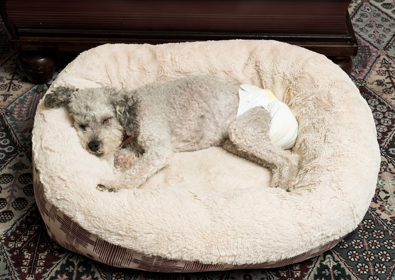dog in diaper sleeping in a dog bed
