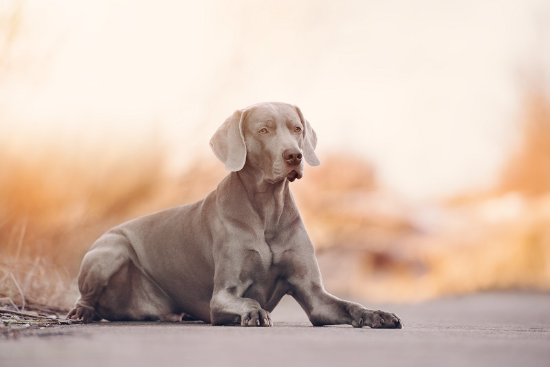 Weimaraner lying down at sunrise