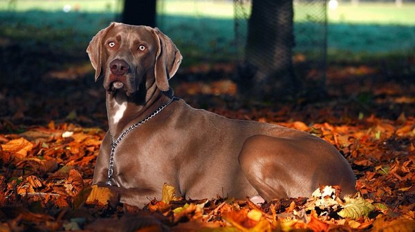 weimaraner best dog hunting breeds with pictures