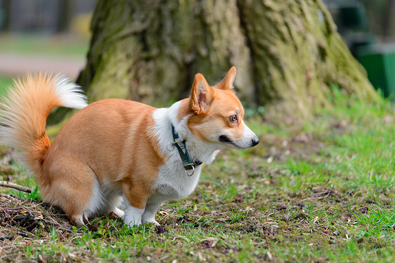 Pembroke Welsh Corgi dog pooping in park