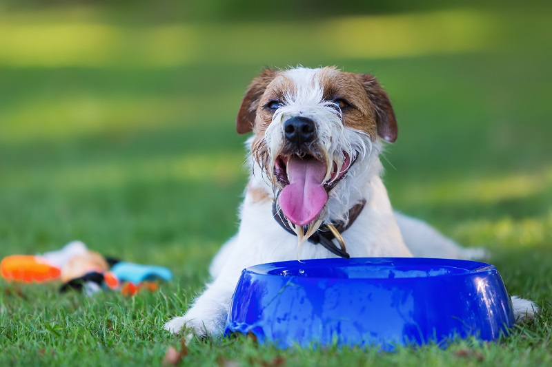 outdoor portrait of a Parson Russell Terrier lying in front of a water dish