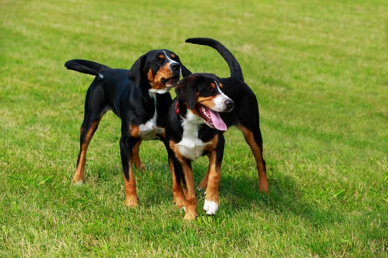 Two dogs of the breed Appenzeller Sennenhund close up on green grass