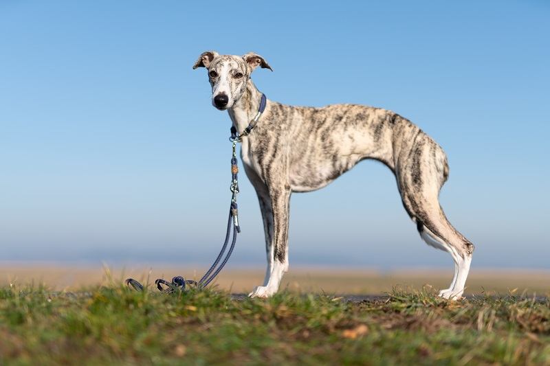 Whippet dog from the side with blue sky in the background