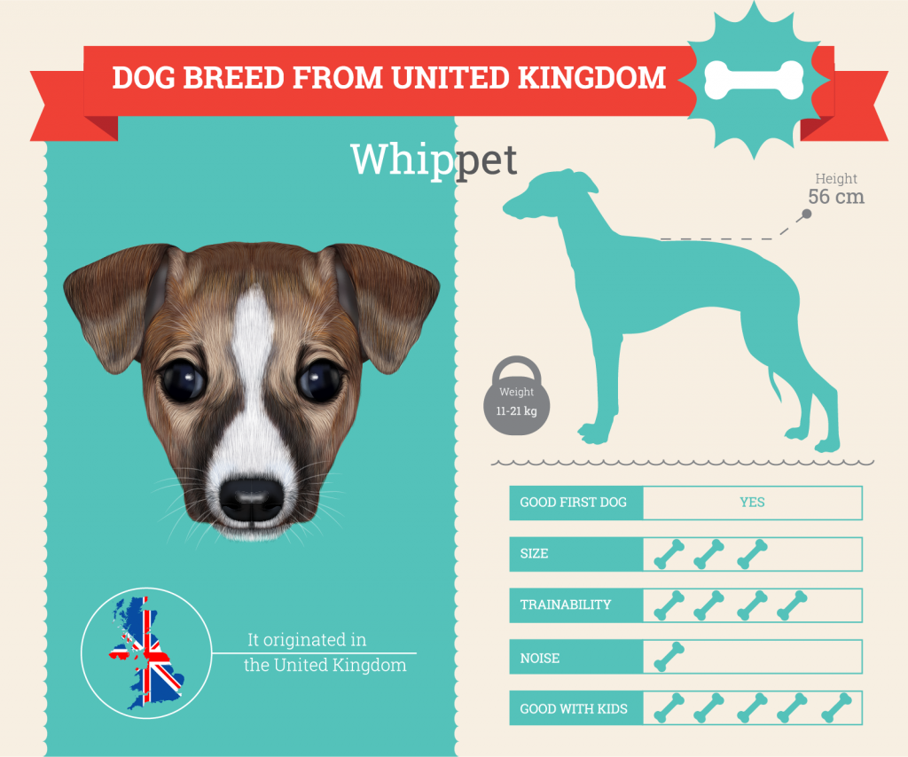 Whippet infographic