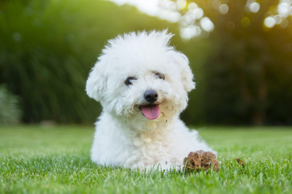 White Bichon Frise lying on the grass with its tongue out