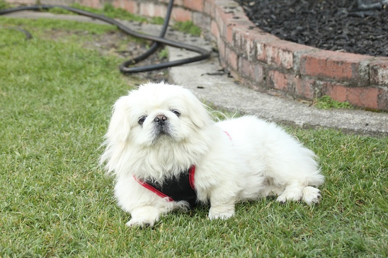 cute white Pekingese with body harness belt sleeps on grass