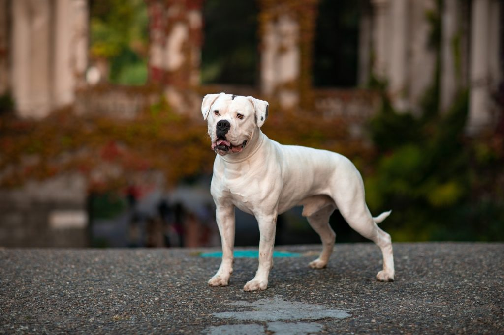 White American Bulldog standing on pavement
