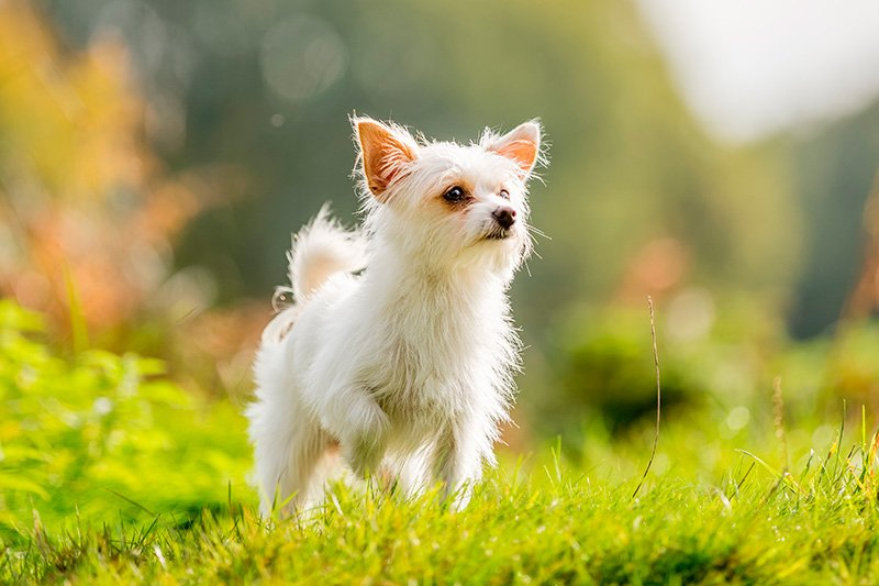 White Chorkie dog in profile