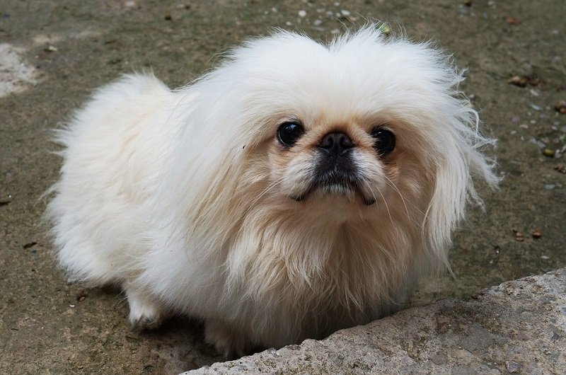 white-fur-ball-pekingese so cute!