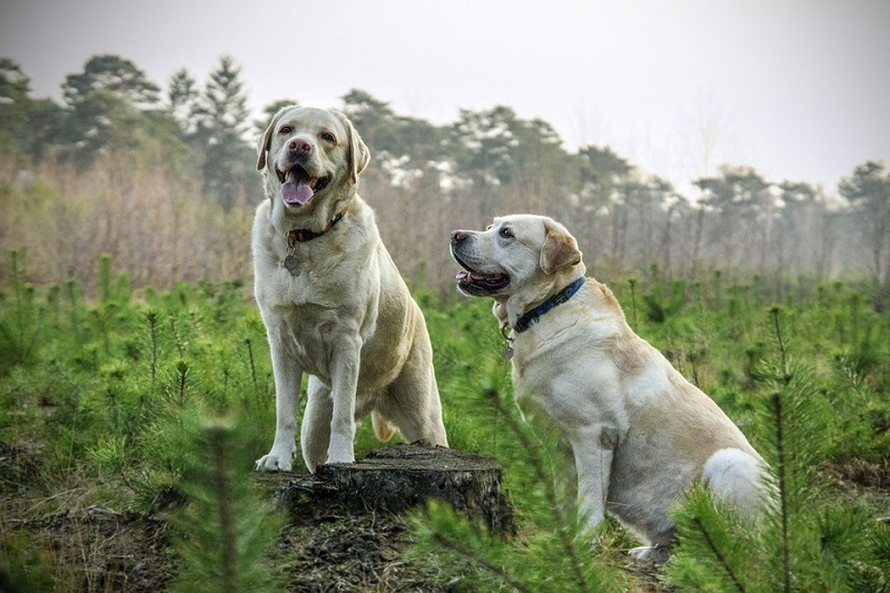 two white Labrador retrievers