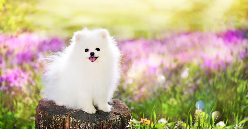 Wide picture of a white pomeranian spitz at the blooming meadow