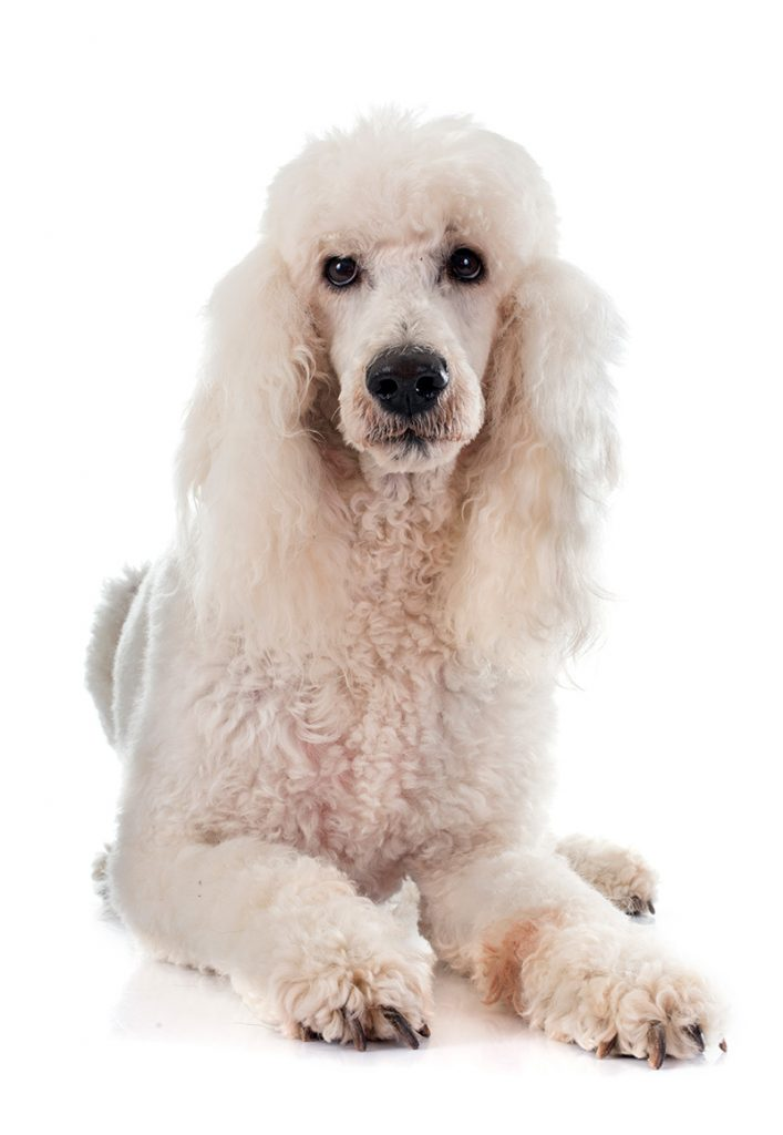 White Standard Poodle isolated on white background