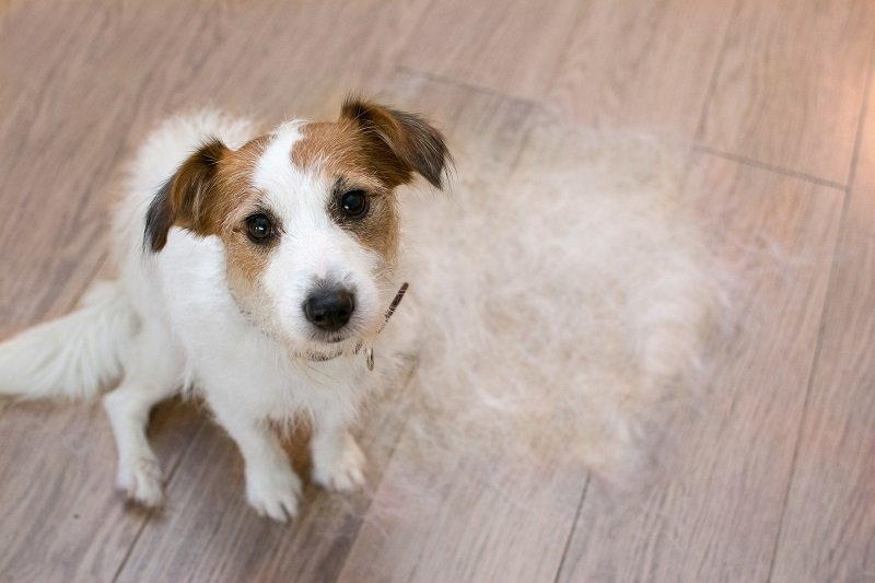 FURRY JACK RUSSELL DOG, SHEDDING HAIR DURING MOLT SEASON, AFTER ITS OWNER  BRUSHED OR GROOMING LOOKING UP WITH SAD EXPRESSION.