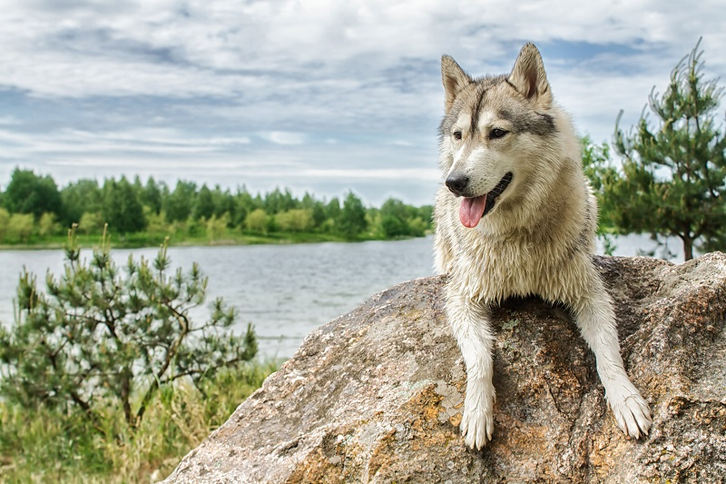 Husky dog breed that looks like a wolf