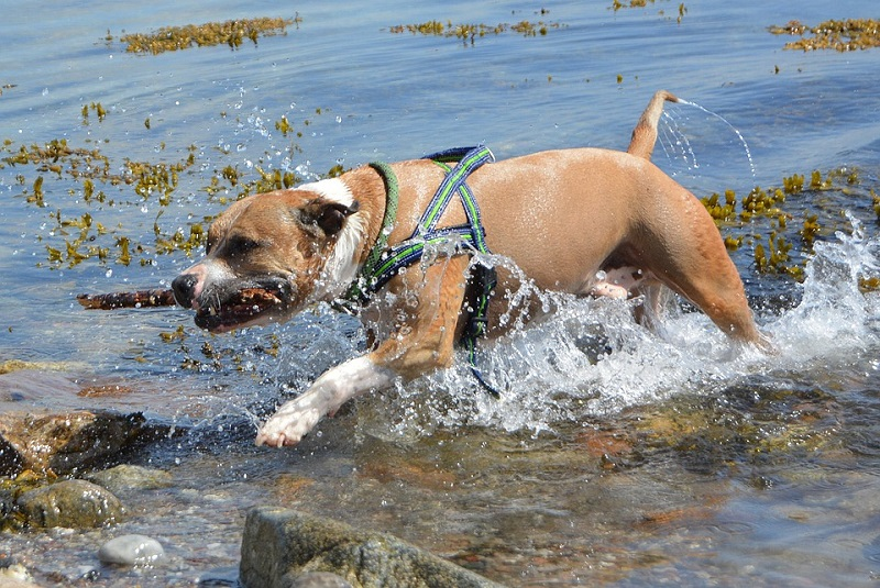 dog running in water with stick