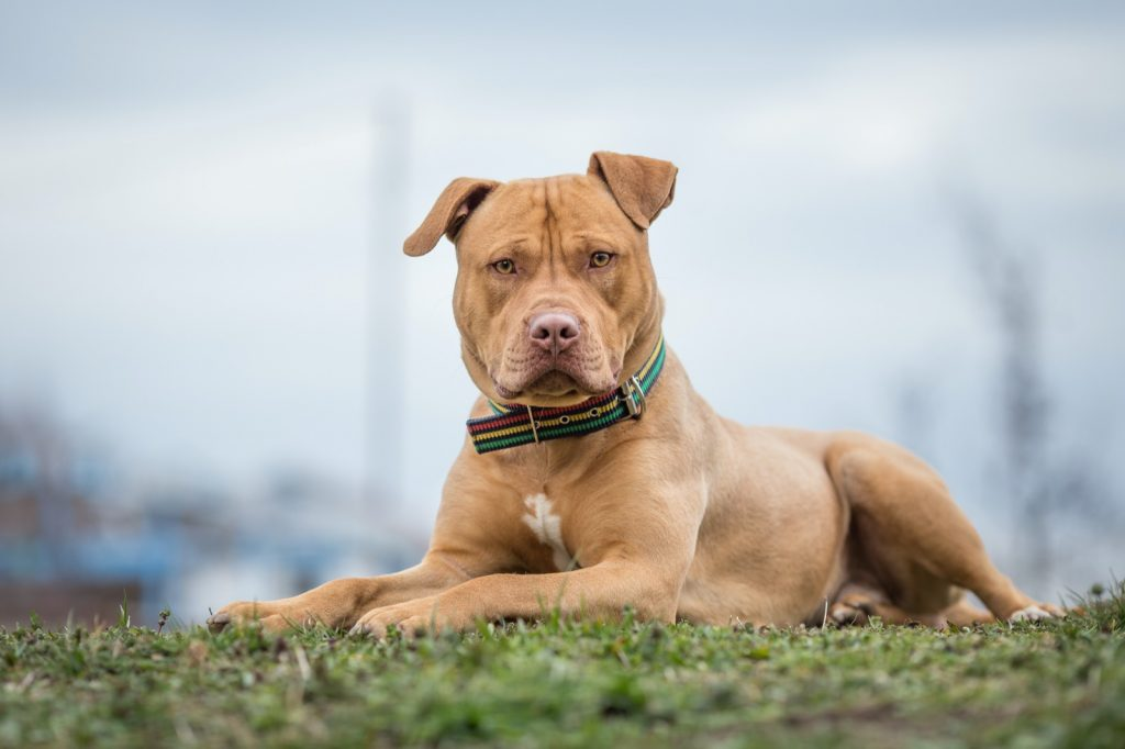 American Pitbull Terrier lying on the grass
