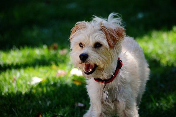 yorkshire terrier mix pictures