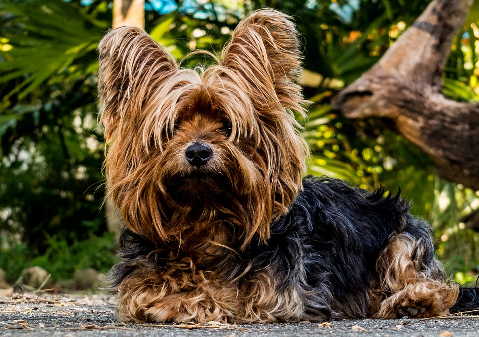 Long-haired Yorkshire Terrier lying in front of trees and bushes
